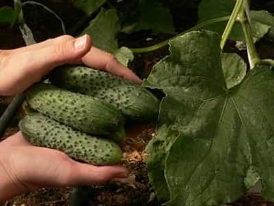 Технология выращивания огурца в условиях защищенного грунта от Seminis (Часть 3).