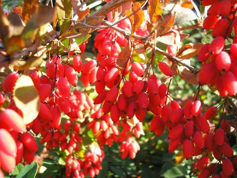 Барбарис корень лечебные свойства и противопоказания