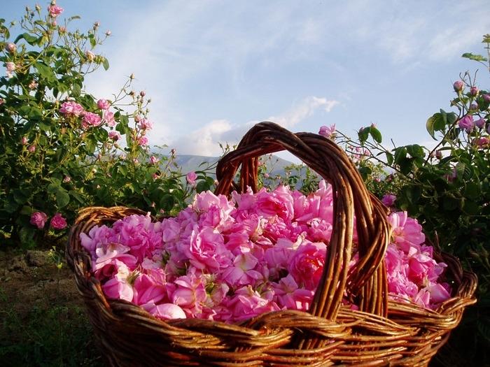 Экскурсии на розовые поля!