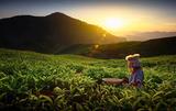 Что такое зеленый чай