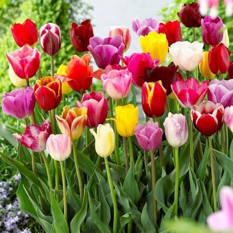 Тюльпаны, уход и посадка осенью