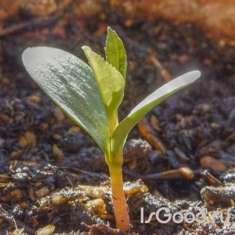 Семенное размножение растений