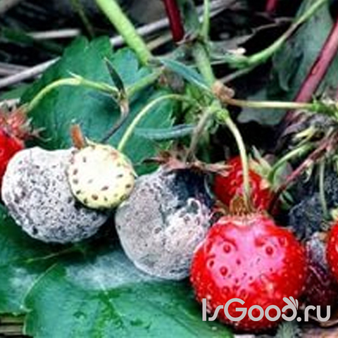 Заболевания растений и методы борьбы с ними. Серая гниль