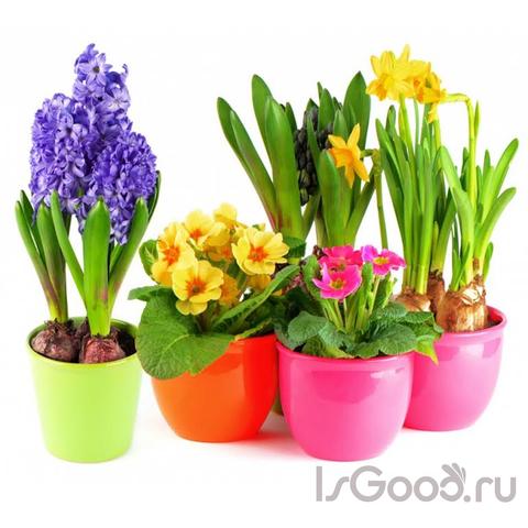 Комнатные луковичные растения
