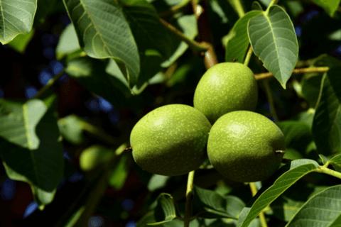 7 причин, чтобы съесть грецкий орех сегодня