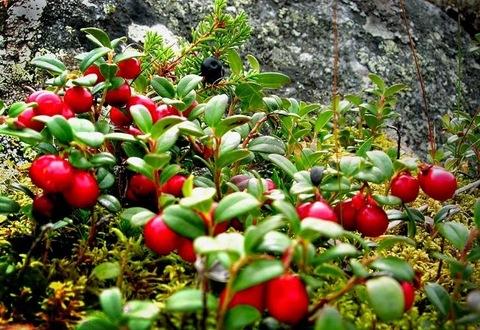 Брусника листья полезные свойства и противопоказания
