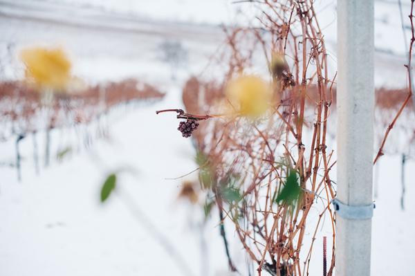 Айсвайн из Трансильвании от короля сладких вин