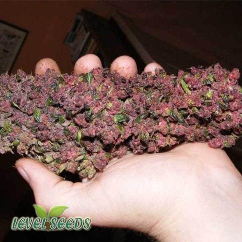 Auto Purple