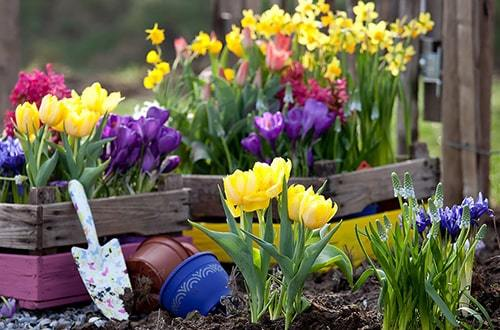 Когда сажать тюльпаны?