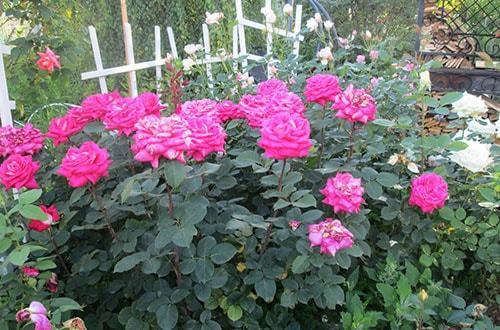 Когда открывать розы?