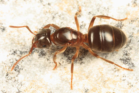 Lasius umbratus