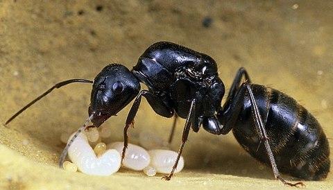 Camponotus japonicus