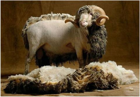 Мериносовая шерсть: 10 интересных фактов об ее уникальных свойствах