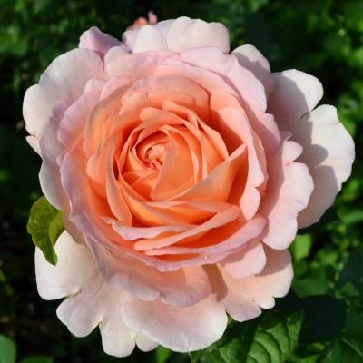 Использование роз в ландшафтном дизайне