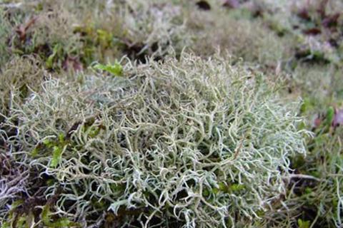 Исландский мох цетрария лечебные свойства и противопоказания
