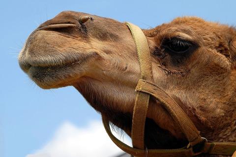 Верблюжья шерсть