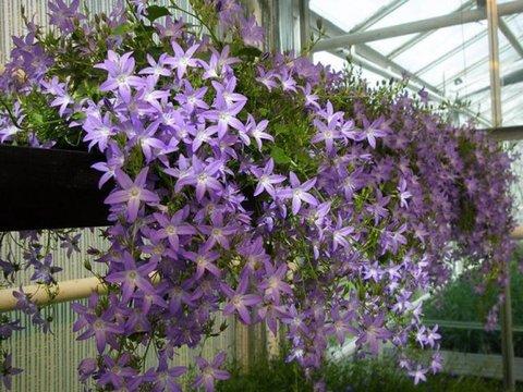 Ампельные цветы для дома и сада