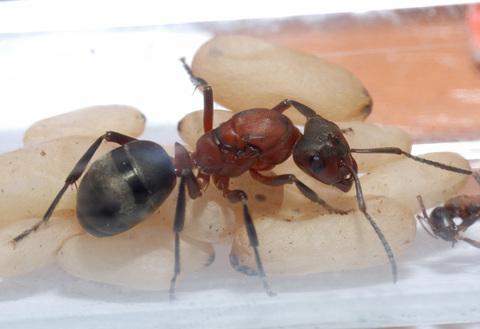 Муравьи рода Raptiformica sanguinea