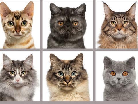 Характер разных пород кошек