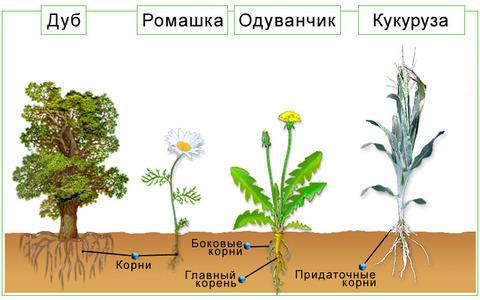 Виды корневой системы