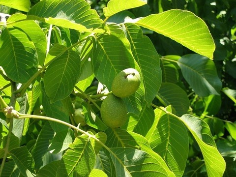 Грецкий орех листья полезные свойства и противопоказания