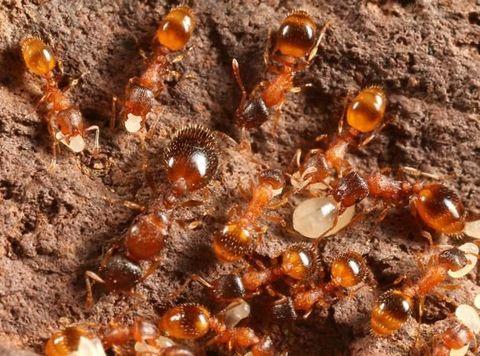 Leptothorax - род муравьев