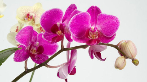 Орхидеи, уход в домашних условиях