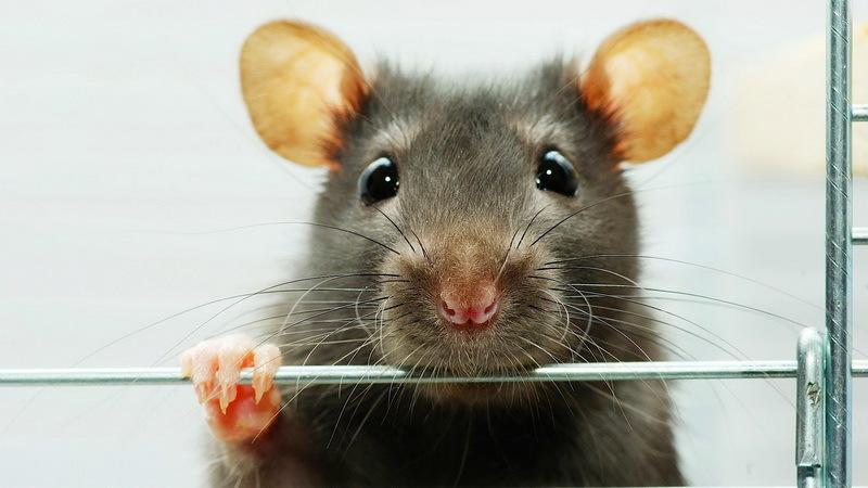Какого размера должна быть клетка для мышей