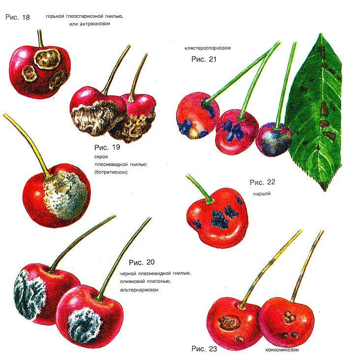 Урожай вишни без хим. обработок - возможно ли?