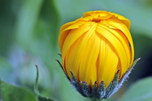 Календула - для сухой и чувствительной кожи