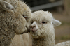 Отличительные свойства шерсти альпаки от шерсти других животных