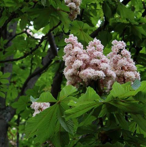 Свойства цветов конского каштана