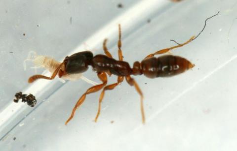 Ponera coarctata - мелкие муравьи рода Ponera из подсемейства Ponerinae