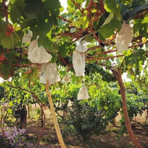 Чудесный виноград в саду