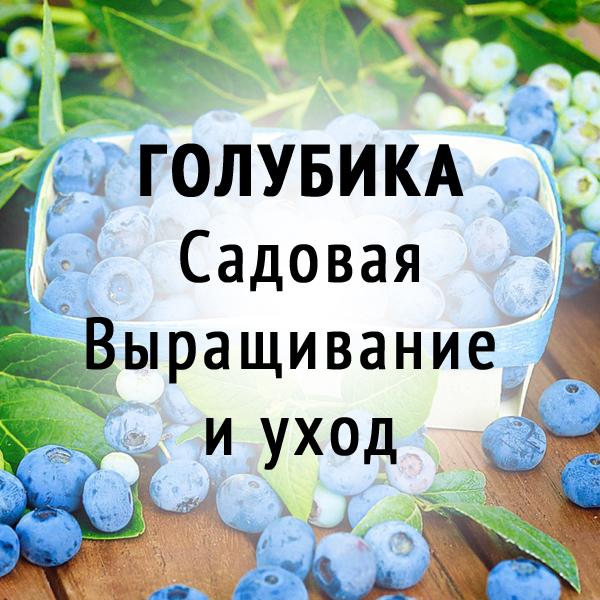 Голубика садовая. Выращивание и уход.