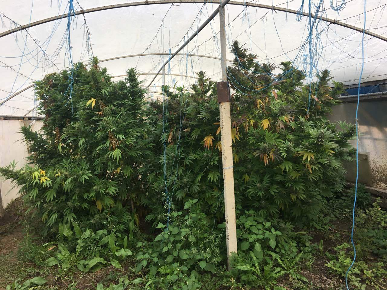 Как вырастить марихуану на открытом воздухе и получить огромный урожай