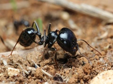 Messor - муравьи для занятых и ленивых