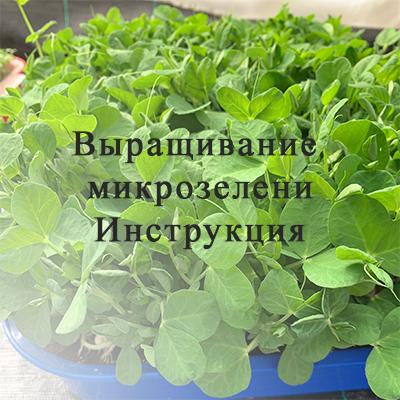 Как мы выращиваем микрозелень
