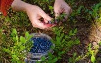Советы по выращиванию черники