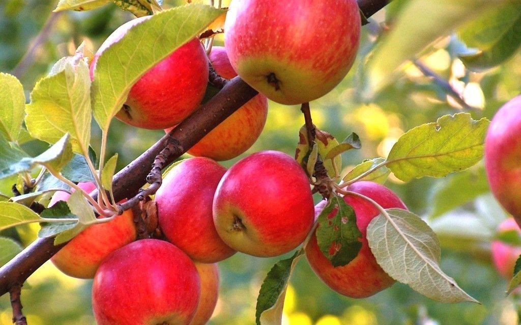 Яблоня удел терпеливых садоводов