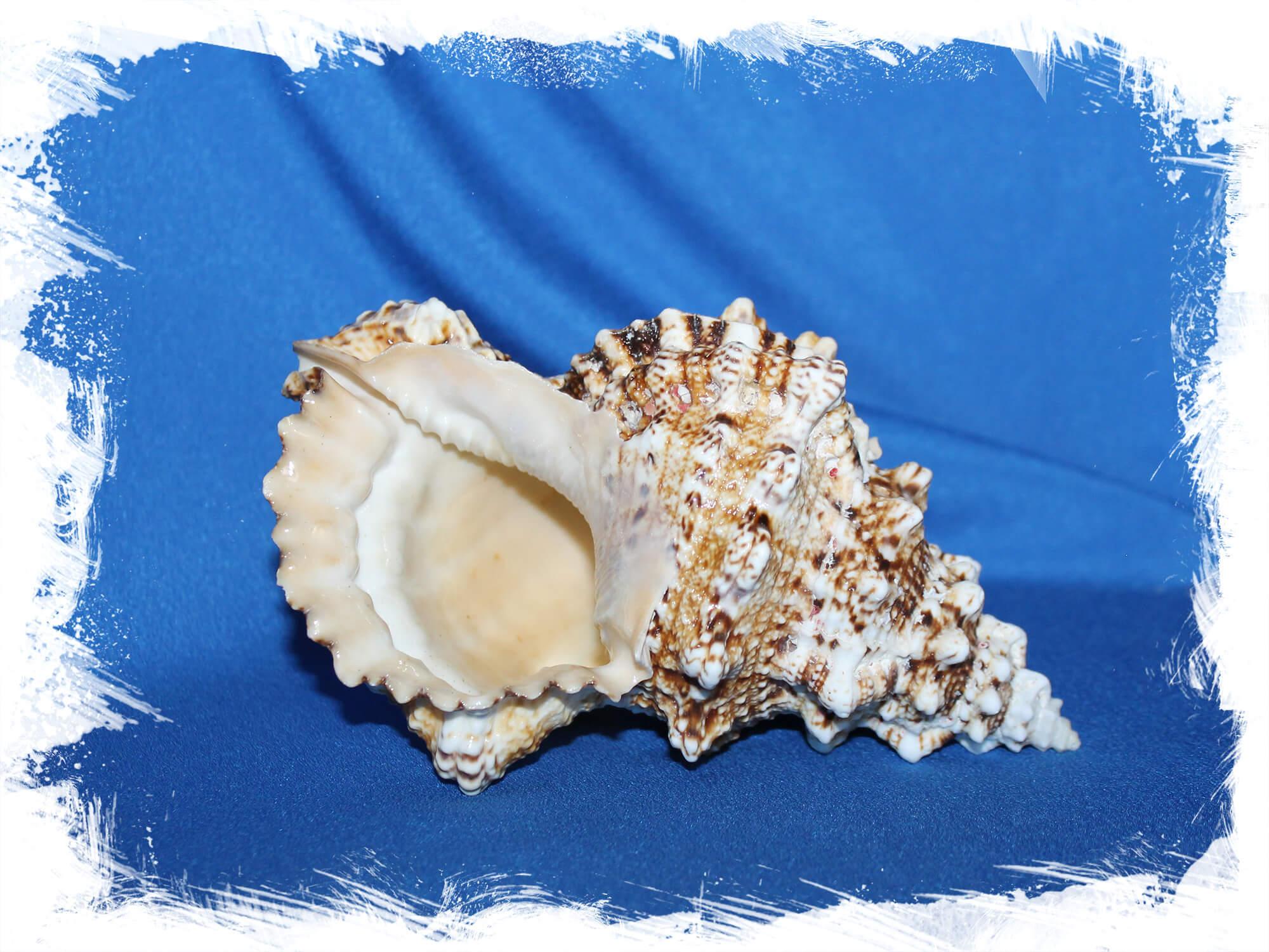 Морские ракушки поштучно