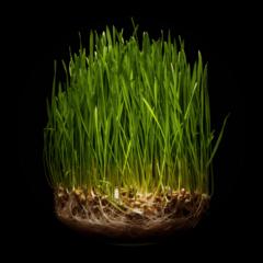 Зерна для проращивания