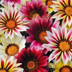 Семена цветов Газания Нью Дэй Стравберри Шорткейк микс , PanAmerican Seed, 10 шт.