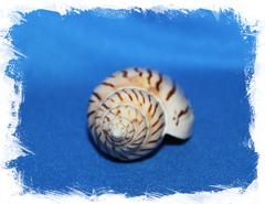 Harpulina lapponica loroisi