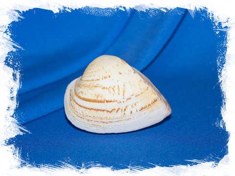 Кукуллаея лабиата (Cucullaea labiata)