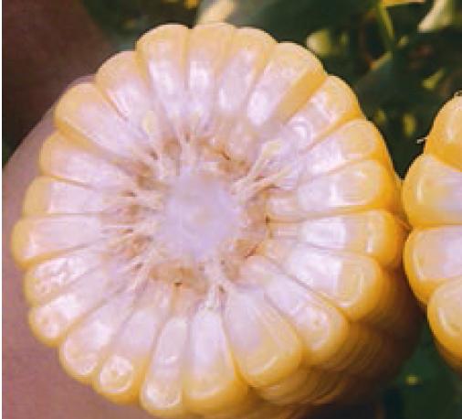 Кукуруза ГХ 5704 F1 семена кукурузы, (Syng.) 5704.PNG