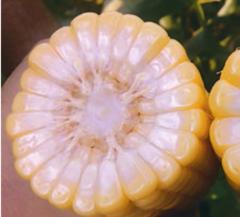 ГХ 5704 F1 семена кукурузы, (Syng.)