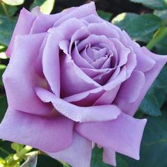 Роза чайно-гибридная Блю Берд