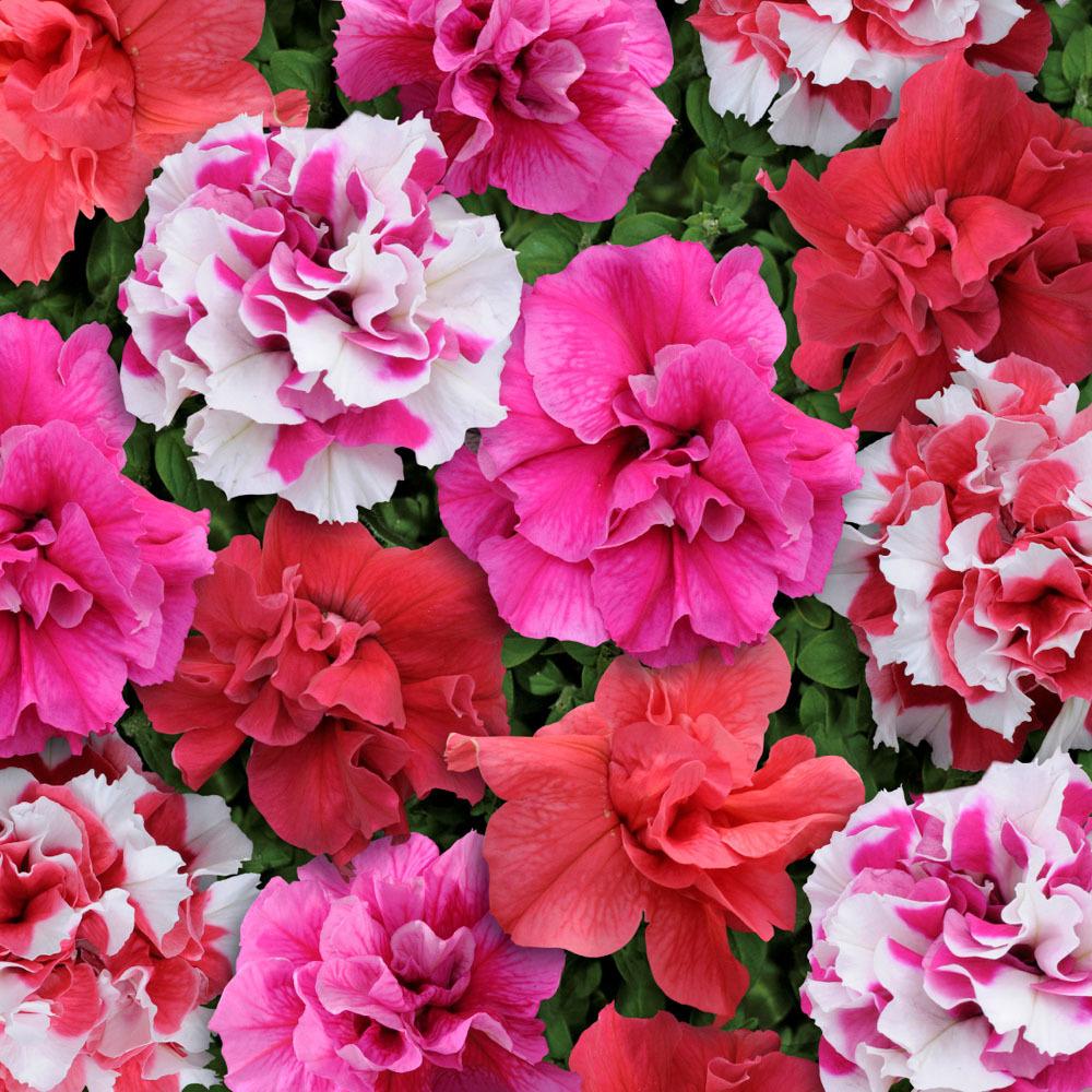 Цветы Семена цветов Петуния махровая многоцветковая Тарт Бонанза Микс, PanAmerican Seed, 10 шт. PETUNIY-MAKROVAY.jpg