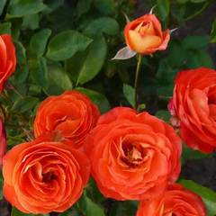 Купить Роза миниатюрная Тайфун